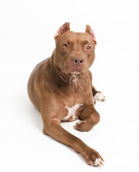 a dog (pitbull) in studio on white background