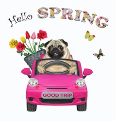 A dog pug with a pail of flowers is driving a pink car. Hello spring. White background. Isolated.