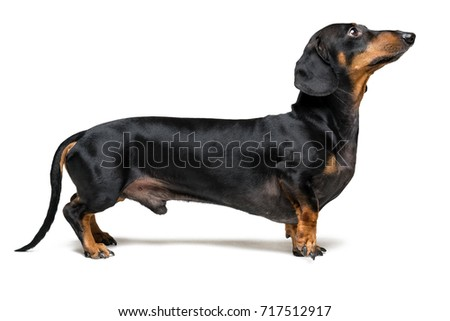 A dog (puppy) of the dachshund breed, black and tan, stands with a forepaw on isolated on white background