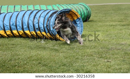 A Dog Racing from a Tube on an Obstacle Course.