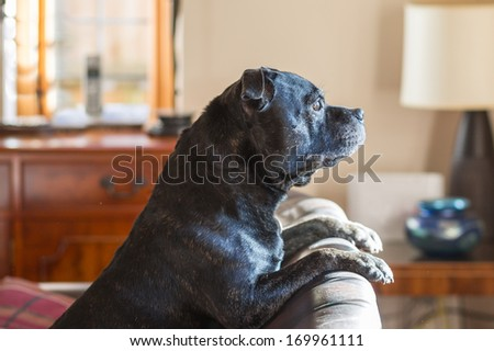 A dog resting on the back of a sofa looking out of a window waiting for his owner