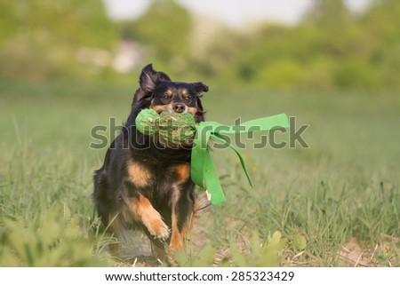 A dog runs with a toy on the meadow