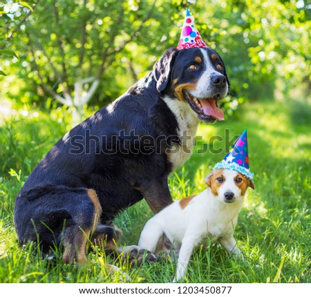 A dog's birthday, a party. Large Swiss Mountain Dog and Jack Russell Terrier, paper cap, celebrate the birthday of a dog, happy birthday my best friend.