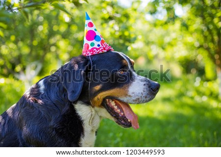 A dog's birthday, a party. Large Swiss Mountain Dog, paper cap, celebrate the birthday of a dog, happy birthday my best friend.