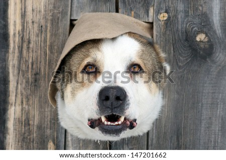 A dog\'s head in a hole in a wooden fence with open mouth looking at camera