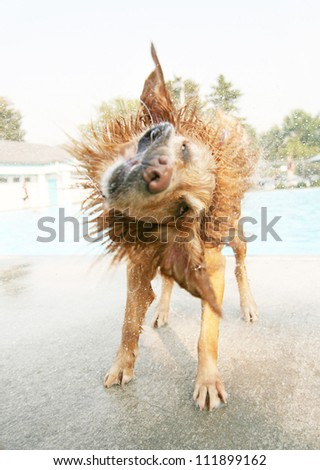 a dog shaking off water at a public pool