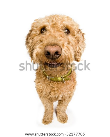 A dog (spanish waterdog breed) with a big grin