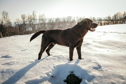 A dog that is standing in the snow a Labrador