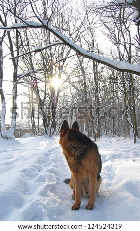 A dog turned his head to the sun in a winter forest. A dog silhouette on winter background.  A dog in the morning sunlight. A dog on snow
