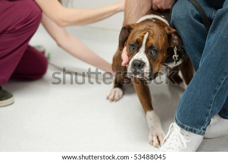 a dog unhappily lets the nurse take his temperature