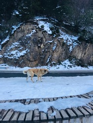 A dog wandering alone in between snow capped mountains in Uzongöl-Turkey.