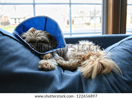 a dog with a cone from the veterinarian on his head after surgery