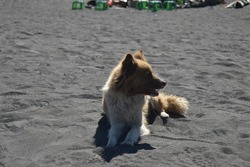 A dog with brown and white fur lying on the sand during the day in the hot sun.
