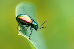 A Dogbane Beetle on a dogbane plant leaf in Wisconsin.