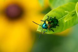 A Dogbane Beetle on a leaf above a Black-eyed Susan wildflower.