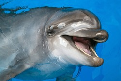 A dolphin looking up at its trainer waiting for his next command. Bottlenose dolphin swimming in an aquarium pool.