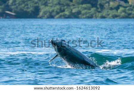 A Dolphin near Bocas del Toro, Panama. Foto stock ©