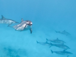 A dolphin pod swims by in Hawaii.