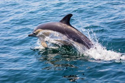 A Dolphin swimming off of the coast of Lagos in the Algarve region of Portugal.