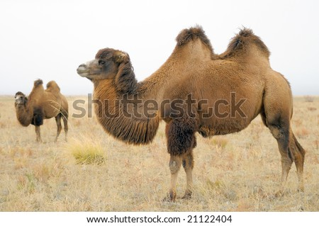 A Domestic Bactrian Camel 商业图片: 211224