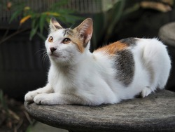 A domestic cat (Felis silvestris catus) with tricolor, called the Calico cat.