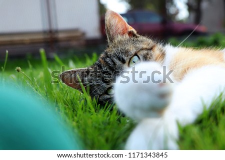 A domestic cat head looking from behind her paws and look right to camera. In left down corner is ball. Relaxing after hard day