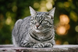 A domestic cat is laying on a old wooden table against a background of green plants. A non-pedigreed cat, circles in blurred background, looks to the left. A pet in nature.