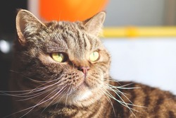 A domestic cat looks out of the window in close-up