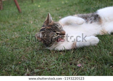 A domestic cat lying and cleaning yourself on the ground. In the middle of grass relaxing our cat. Normal happiness day
