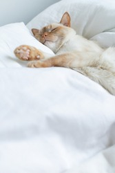 A domestic cat sleeps lying on a bed between two pillows on white bedding and a soft bedspread. Copy space.