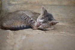a domestic cat (tabby cat) with scabies skin disease