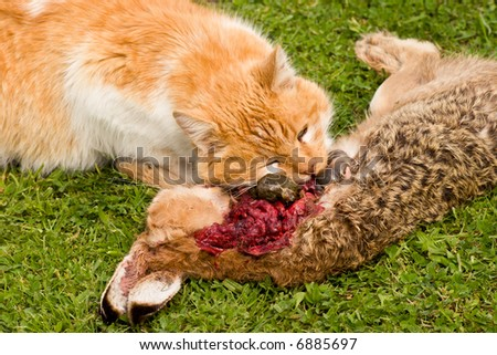A domestic cat tucks into a meal of a freshly caught rabbit. The cat consumed most of the internal organs first.