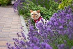 A domestic cat with blue eyes and red ears and a nose sits on the lawn in the lavender bushes in a red harness on a leash while walking and looks out from behind a lavender bush.