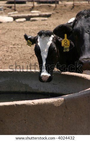 "a ""domestic cow"" ""bos taturus"" drinks water"