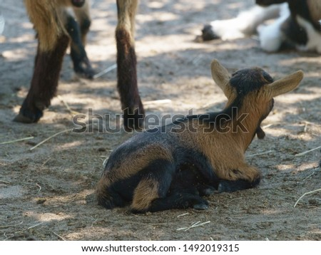 A domestic goat lying and resting in the pen. Resting and herd life concepts. Simbol of the year in the Chinese calendar cyclical. Rear view.