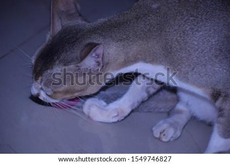 a domestic Indian male cat (Felis catus) kept as indoor pet