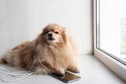 A domestic pet, a dog, a small light German Spitz on the windowsill listening to music on a smartphone.
