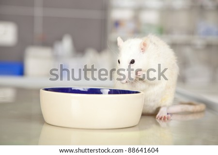 a domestic rat sitting at a bowl on a operating table in a veterinarian practice and eating something