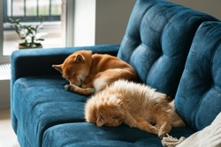 a domestic red dog of the Shiba inu breed and red cat sleeping sweetly on a blue sofa. Cute pets, a cozy home during quarantine and isolation