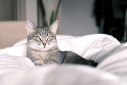 A domestic striped gray cat sleep on the bed. The cat in the home interior. Image for veterinary clinics, sites about cats. World Cat Day