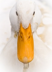 A Domestic White Duck splashed Dirty Water on its head - Close-up portrait.