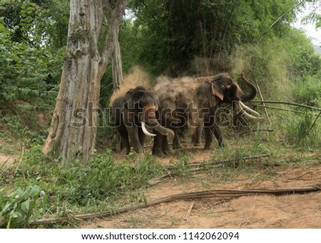 Stock Photo A domesticated Indian Elephant in the forest also known as Elephas maximus indicus at elephant camp Kanchanaburi, Thailand