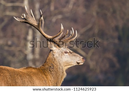 A dominant Red Deer Stag or Buck in a profile shot showing his impressive antlers against a blurred woodland background. #1124625923
