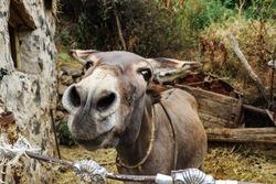 A donkey in a village in Armenia