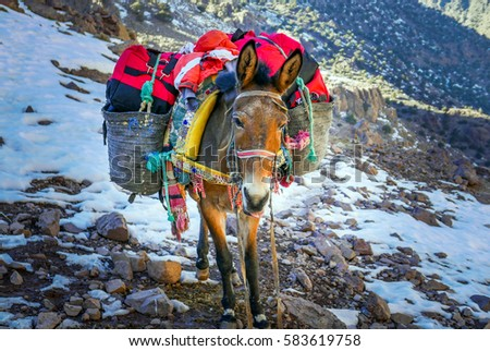 A donkey / Mule carrying the load up the mountain in Morocco