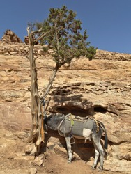 A donkey resting in the shade of an arbor vitae in the desert close to Petra, Jordan.