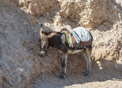 A donkey with a saddle is standing in the shade and resting and waiting for tourists on the viewing platform near Mitzpe Yeriho in Israel