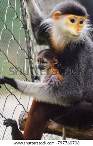 A Douc Langur Monkey and its offspring in the Zoo #797760706