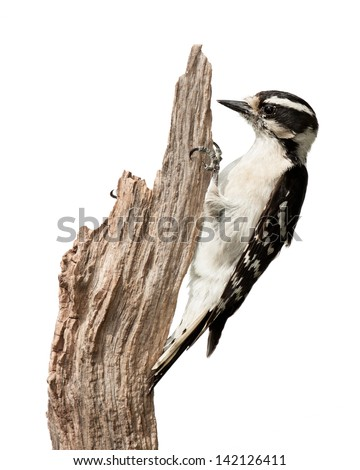 A downy woodpecker pecks at a piece of wood. Her talons grasp a branch using her tail for balance. Profile the bird displaying her black and white wing feathers and chisel-like bill. White background.