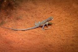 A dragon lizard endemic of Central Australian deserts, Northern Territory, Australia